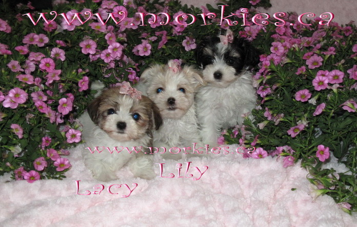 Gorgeous female morkie puppies sold at http://www.morkies.ca