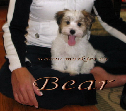 White Morkie Bear is sold.