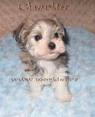 Little Lui morkie has been adopted by Wendy & Terrie from Burlington