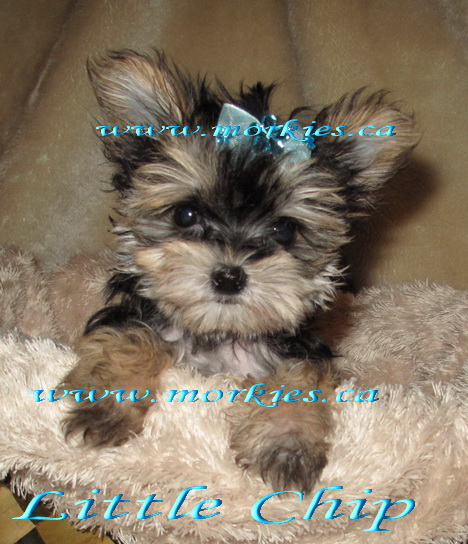 Teacup Morkie Chip is for sale hhtp://www.morkies.ca